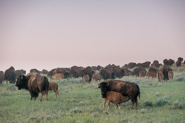 Durham Ranch Bison