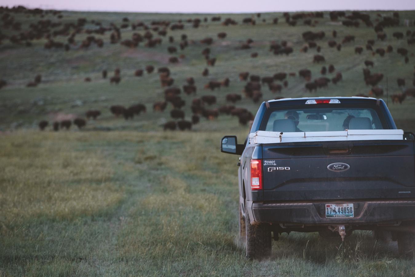 Durham Ranch Bison